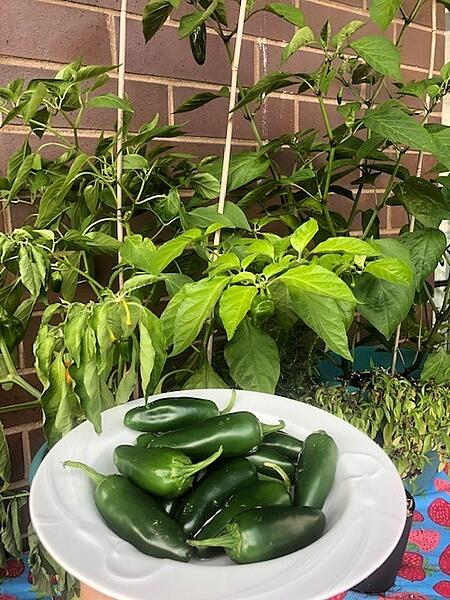 jalapenos with plants