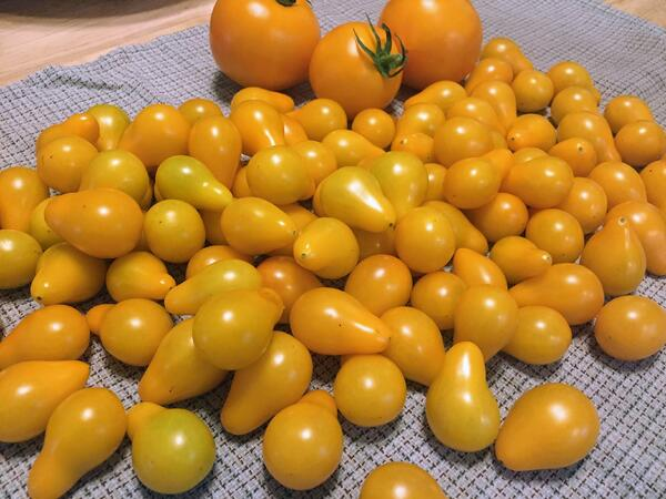 yellow tomato harvest